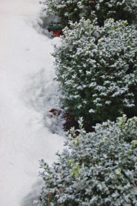 winter boxwood